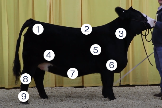 livestock judging terminology